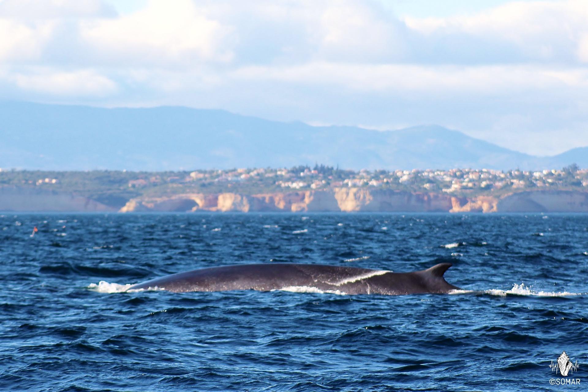 baleia-comum costa (Fa) MDA